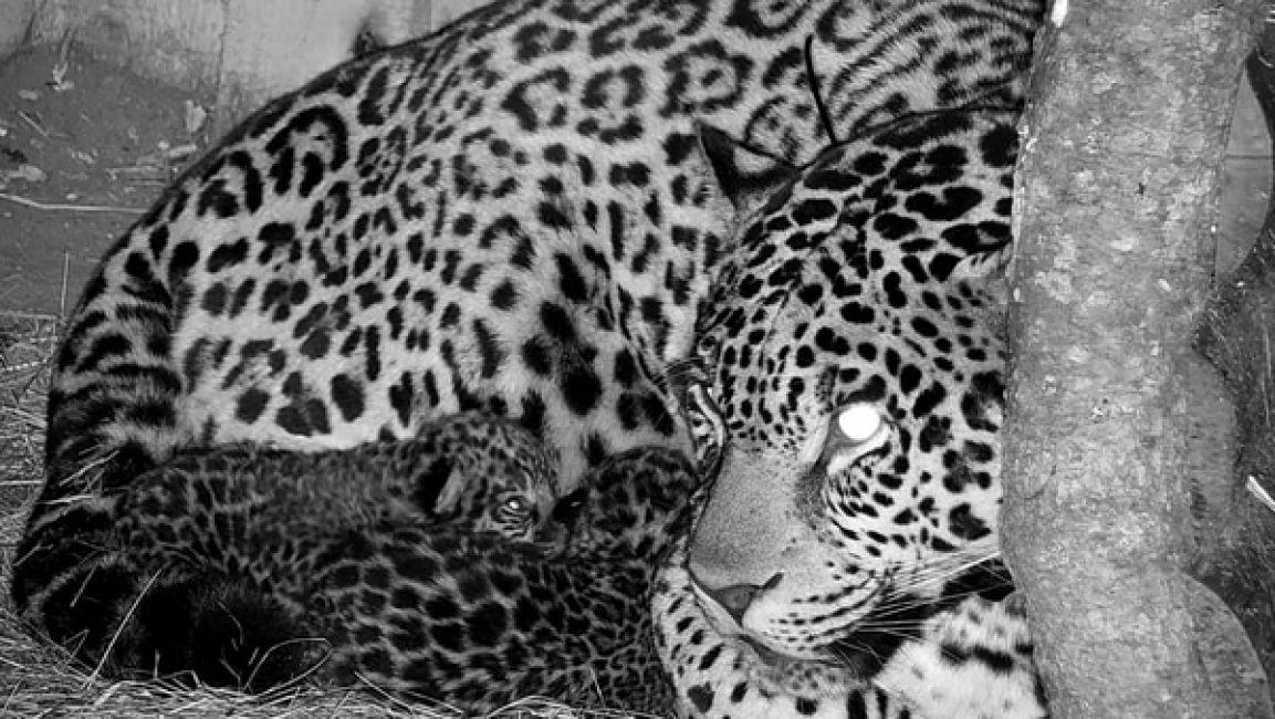 Tras 10 años sin nuevas crías, nacieron dos yaguaretés