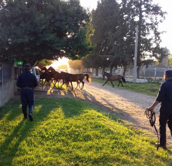 Secuestraron 30 caballos en Metán