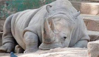 Sólo quedan 4 rinocerontes blancos