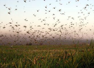Santiago del Estero: la plaga de langostas ya arrasó con 1.500 hectáreas de cultivos