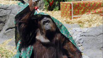 Fallo histórico: hábeas corpus para una orangutana del zoo porteño