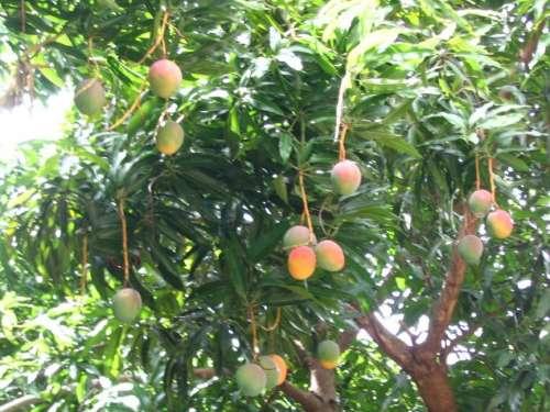 Murió al caer de un árbol de mango