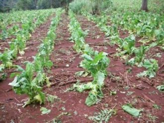 1.200 hectáreas de tabaco fueron afectadas por el granizo