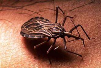 Prueban con éxito en animales una vacuna brasileña contra el mal de Chagas