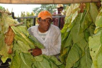Catamarca: estiman que se perderá la mitad de la producción tabacalera